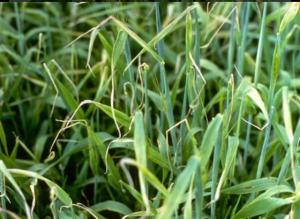 copper-def-barley