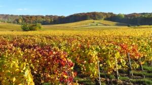 Vigne en automne en Champagne (France)